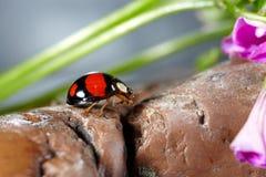 De macro van het lieveheersbeestje Royalty-vrije Stock Foto's
