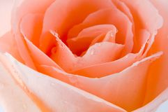 Extreem rose Stock Images