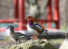 Extrem bunte Ente, Mandarinenmann auf dem Felsen lizenzfreies stockbild