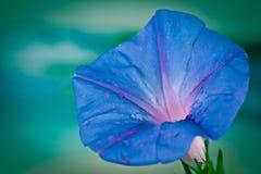 Extrem closeup av den blåa blomman för morgonhärlighet på gröna suddiga lodisar Royaltyfria Bilder