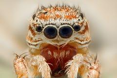 Extrem closeup av en banhoppningspindel Arkivbild
