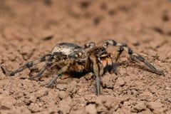 Extrem förstoring - Wolf Spider, fullt kroppskott Arkivfoton