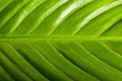 extrem grön leaf Arkivfoton