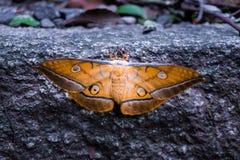 Extrem großer und bunter Schmetterling lizenzfreies stockfoto
