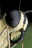 extrem limefruktmakro för fjäril Fotografering för Bildbyråer