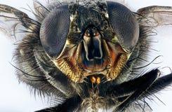 Extrem makro av flugan royaltyfri fotografi