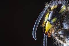 Extrem makro av huvudet av gemensamma Wasp & x28; Vespulavulgaris& x29; från Arkivbild