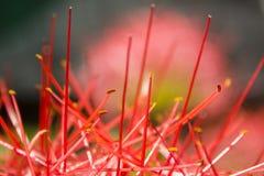 Extrem närbild av röda knoppar för en blomma med mycket tunna glödtrådar arkivfoton