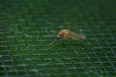 Extrem närbild för mygga eller makrofoto Arkivfoto