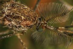 Extrem närbild för mygga eller makrofoto Fotografering för Bildbyråer
