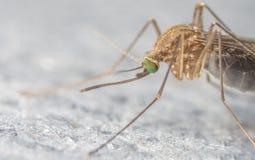 Extrem närbild för mygga eller makrofoto Arkivfoton