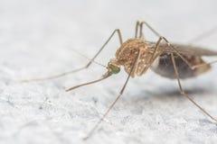 Extrem närbild för mygga eller makrofoto Arkivbilder