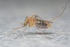 Extrem närbild för mygga eller makrofoto Royaltyfri Foto