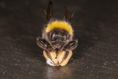 Extrem nah oben auf Bienen Stockbild