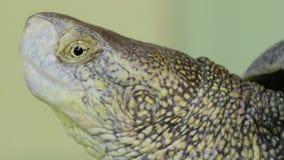 Extrem nah oben vom Schildkröten-Kopf stock video