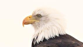 Extrem nah oben vom Weißkopfseeadler mit dem geschrammten Schnabel stock video