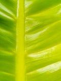 Extrem nah oben von der Mitte des Blattes, des Gelbs und des Grüns Lizenzfreie Stockfotografie