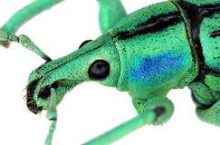 Extrem nah oben von einem exotischen Rüsselkäfer Stockbild
