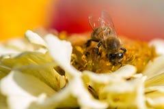 Extrem nah oben von einer Biene, die Blütenstaub in einem blühenden Frühlingsgarten sammelt lizenzfreie stockbilder