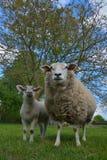 Extrem schöne nette Schafe und ihr Lamm lizenzfreies stockfoto