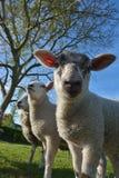 Extrem schöne nette und stolze Schafe stockbild