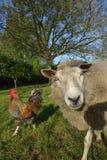 Extrem schöne nette und stolze Schafe lizenzfreie stockfotografie