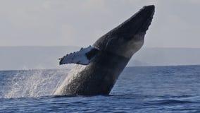Extrem seltener Schuss eines vollen Buckel-Walbruches stock footage
