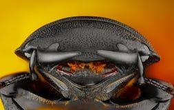 extrem skarp study för detaljerad dorcus Royaltyfri Fotografi