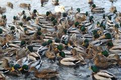 Extremamente muitos patos nadam na lagoa de congelação foto de stock