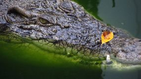 Extreme Close-Up of Alligator in Water Looking. An extreme close-up of an alligator in water looking at camera Royalty Free Stock Image