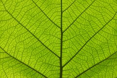 Extreme close up texture of green leaf veins. Extreme close up background texture of backlit green leaf veins Stock Photos