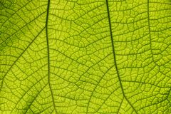 Extreme close up texture of green leaf veins. Extreme close up background texture of backlit green leaf veins Stock Images