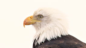 Extreme close up of bald eagle with scarred beak stock video