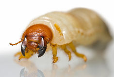 Extreme close up of beetle larvae Royalty Free Stock Images
