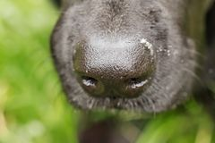 Close up of black dogs nose. Extreme close-up of black Labradors nose to show details Royalty Free Stock Photo