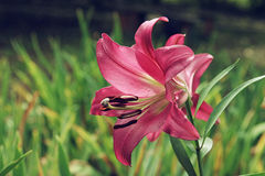 Extreme close up colorful pink lily against green lawn background in garden Stock Photos