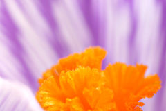 Extreme close-up of a crocus. With orange pistils and lilac-white petals Stock Photo