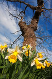 Extreme close-up of daffodils under a tree Stock Image