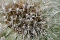 Extreme close-up of dandelion flower. Detailed macro photo of dandelion fluff on bloom Royalty Free Stock Photos