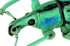 Extreme close up of an exotic weevil Stock Image