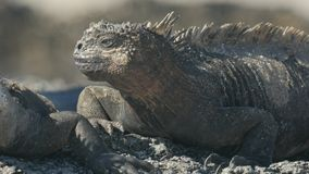 Extreme close up of the face of a marine iguana on isla santa cruz in the galapagos islands. Ecuador stock footage