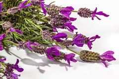 Extreme Close up of Flowering Purple Lavender Plant Stems Stock Photos