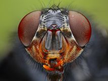 Fly head close up Royalty Free Stock Photos