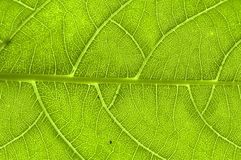 Extreme close up of green leaf veins Royalty Free Stock Images
