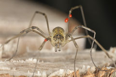 Extreme close-up of harvestman Stock Photography