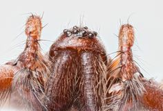 Extreme close up of the head of Domestic House Spider Tegenaria Stock Images