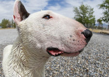 Extreme close up head shot of a bull terrier Stock Images