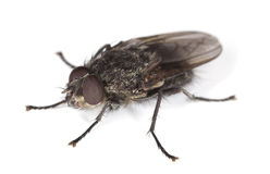 Extreme close-up of House fly isolated on white Stock Image