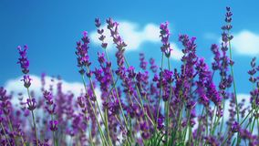 Extreme close up of lavender flowers on the blue sky background. Lavender field in Crimea. Lavandula flowers swaying in stock video