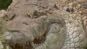 Close-Up Of Gigantic Orinoco Crocodile, Colombia